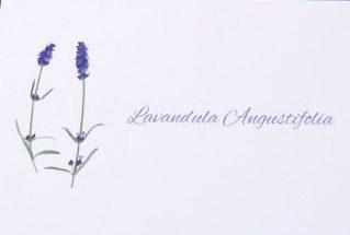 lavanda_garda_ augustifolia